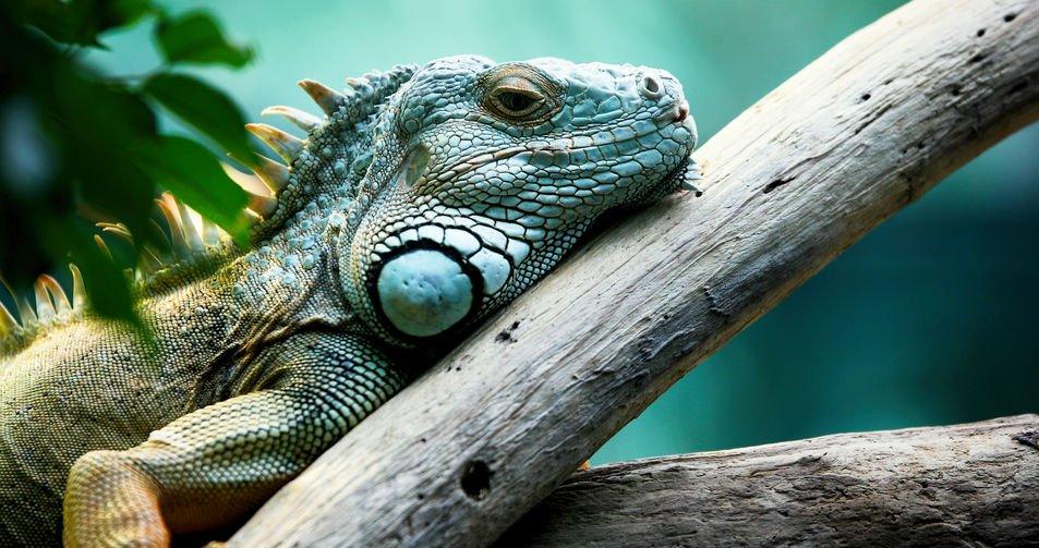 Closeup of beautiful green Iguana on branch